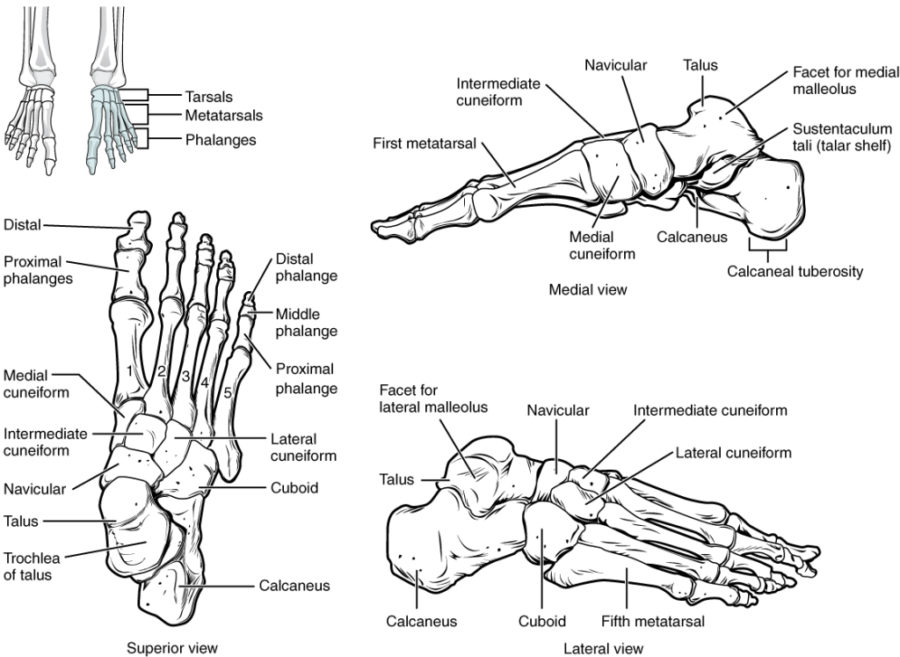 diagram of foot human