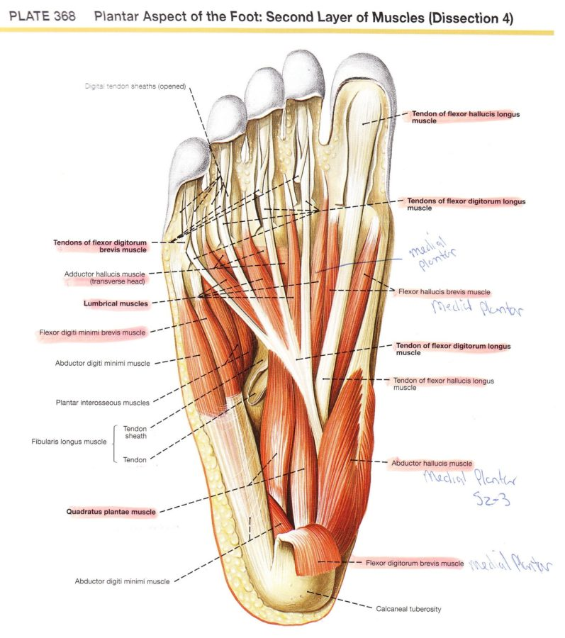 diagram of foot labeled
