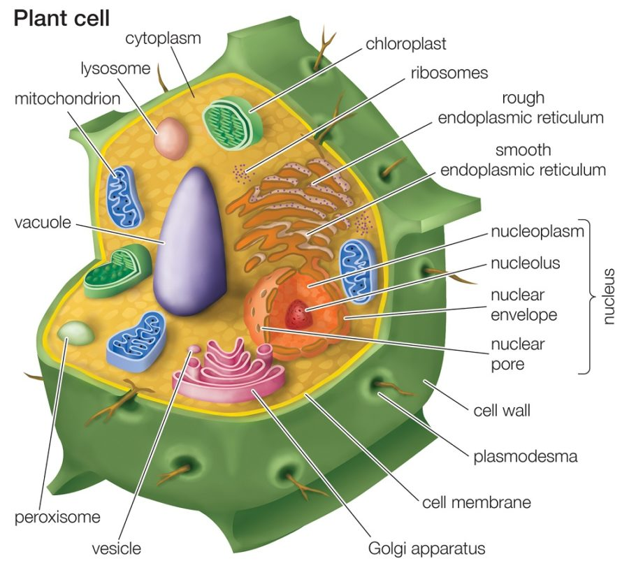 diagram of plant cell animal