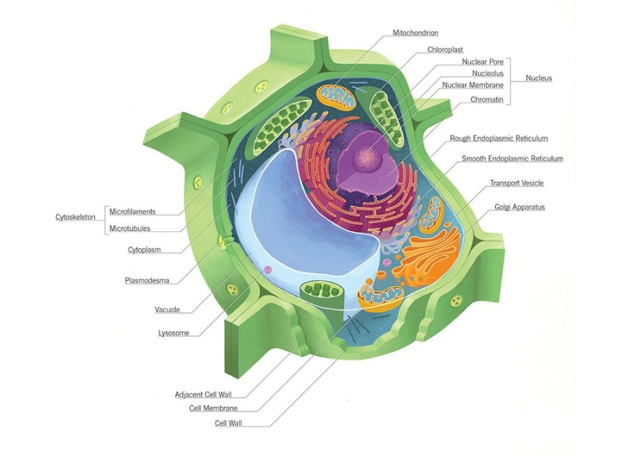diagram of plant cell divisions