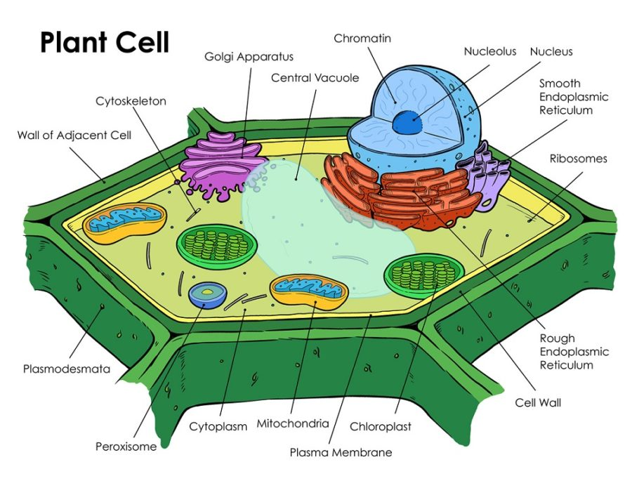 diagram of plant cell image
