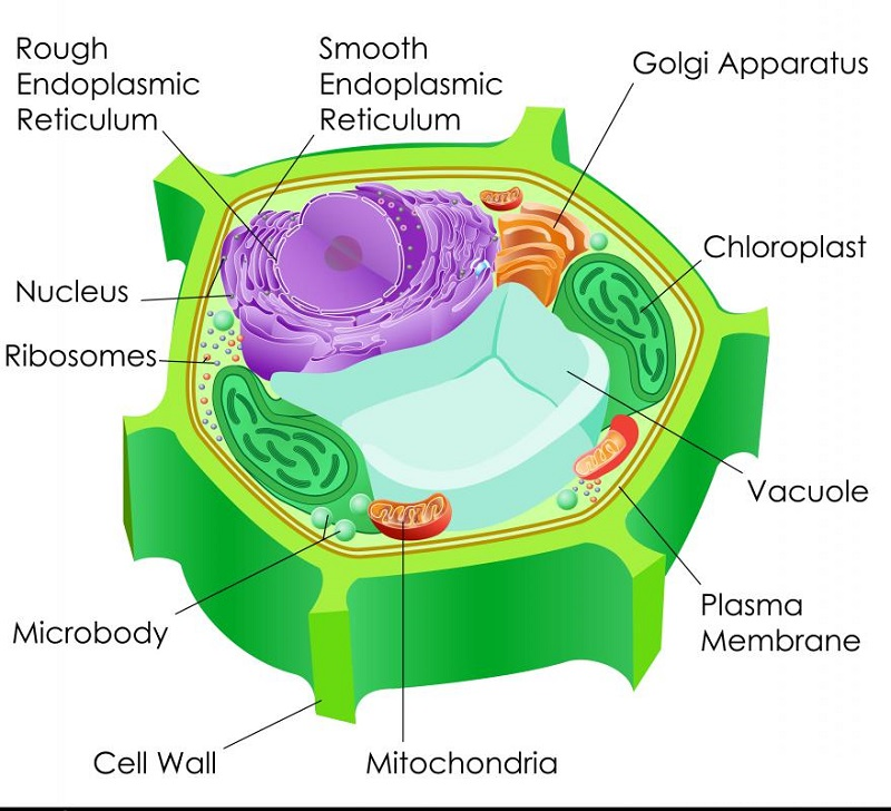 diagram of plant cell organelles