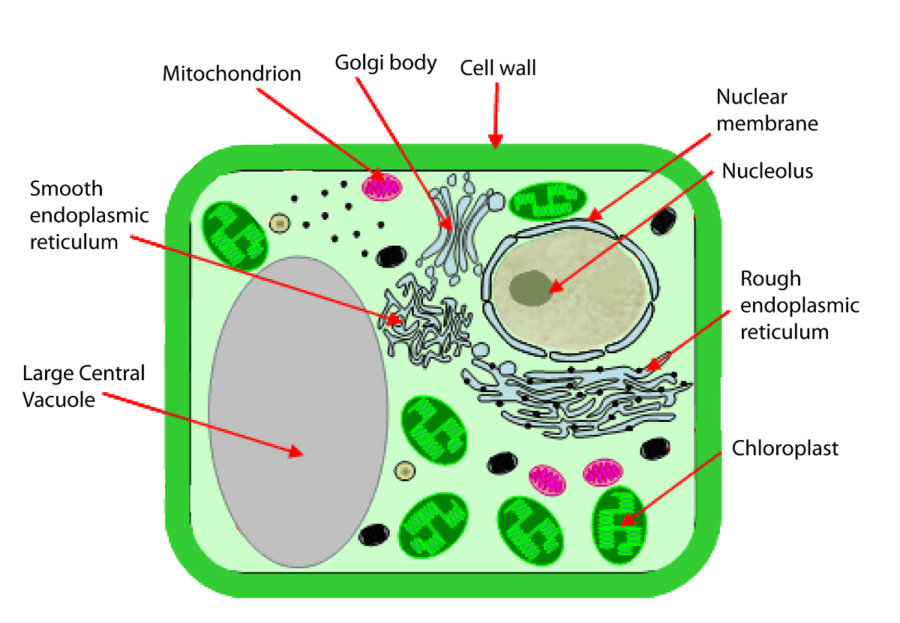 diagram of plant cell picture