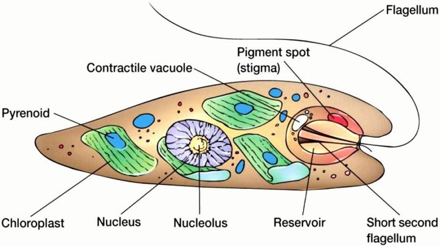 euglena diagram cells