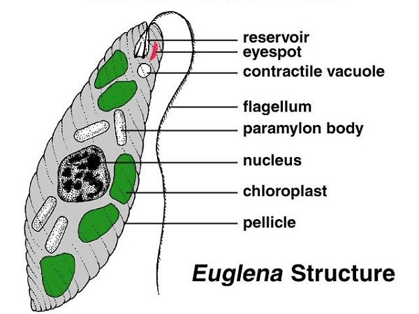 euglena diagram detailed
