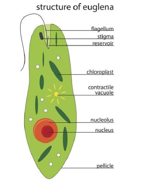 euglena diagram image