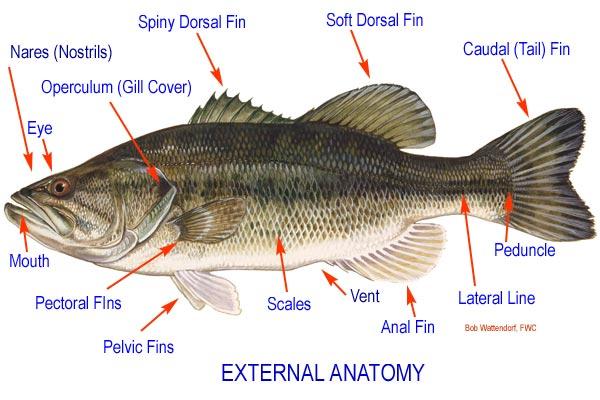 fish diagram anatomy