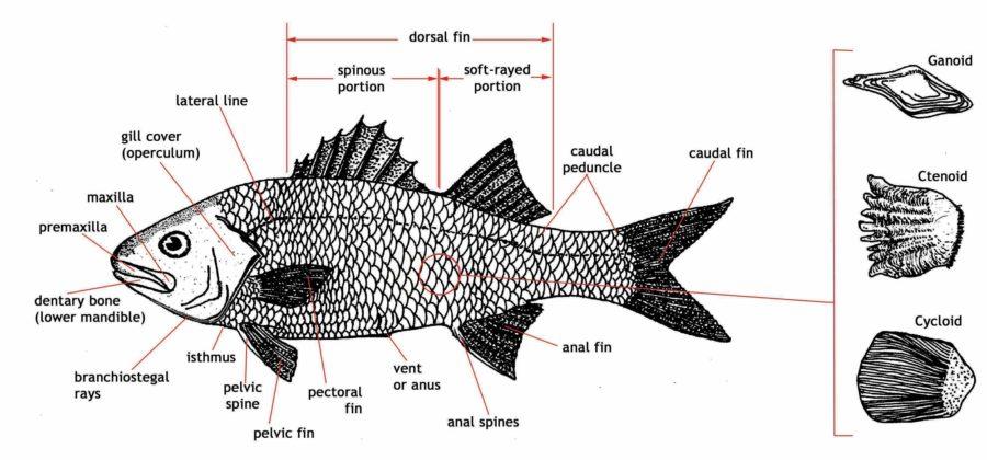 fish diagram part
