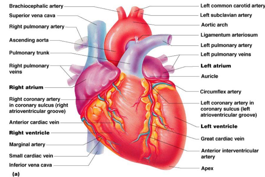 human heart diagram complete