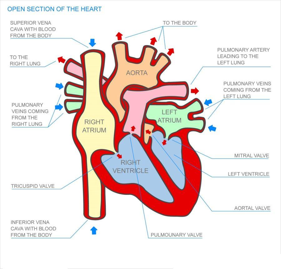 human heart diagram model