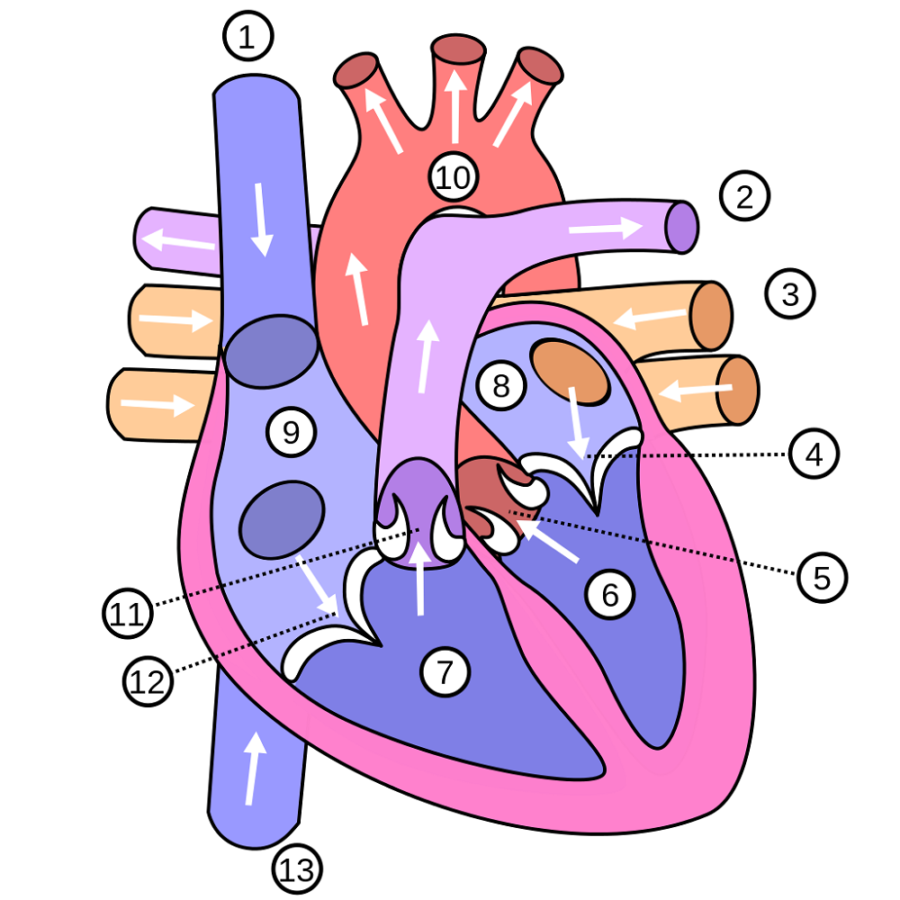 human heart diagram sheet