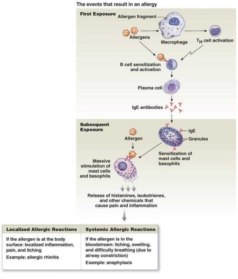 immune system diagram chart