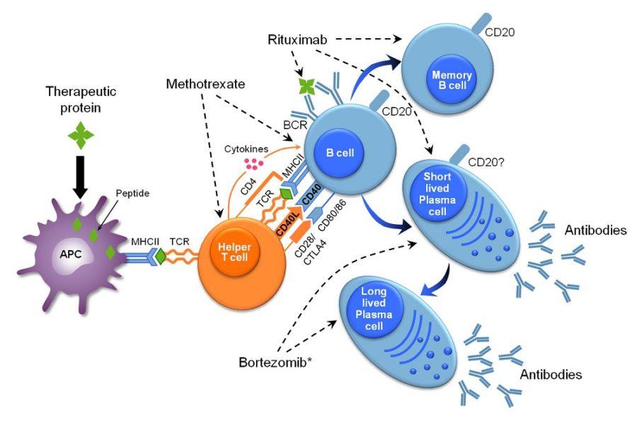 immune system diagram picture