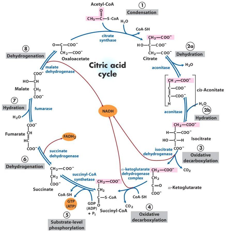 krebs cycle diagram acid