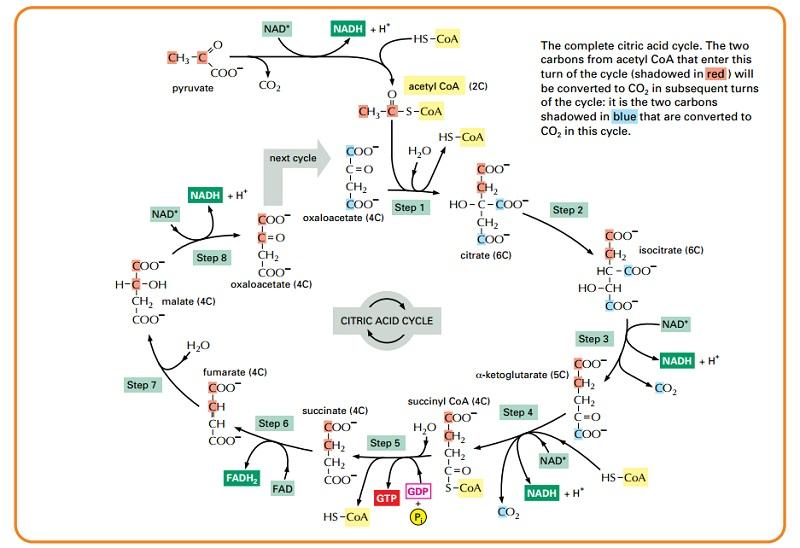 krebs cycle diagram detailed