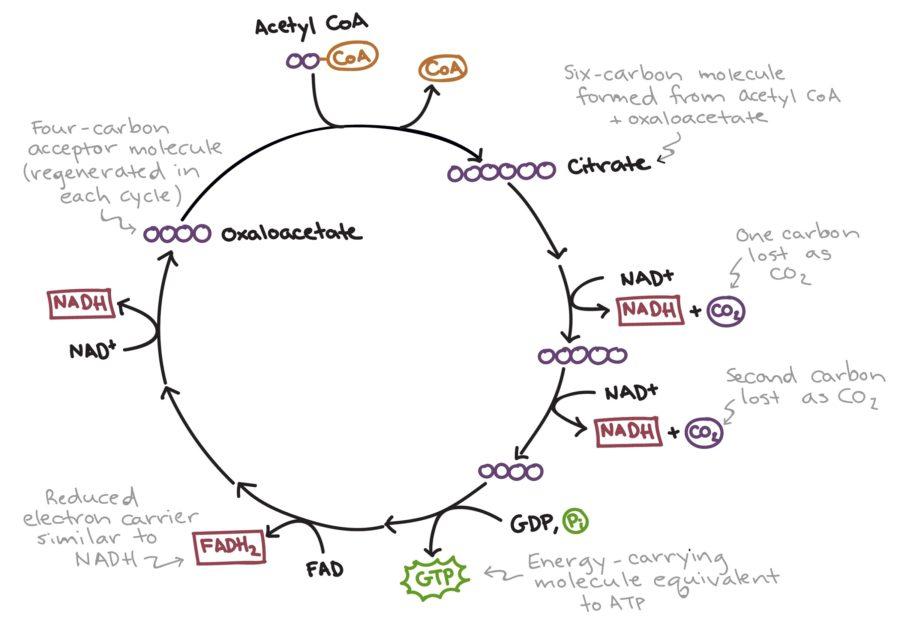 krebs cycle diagram example