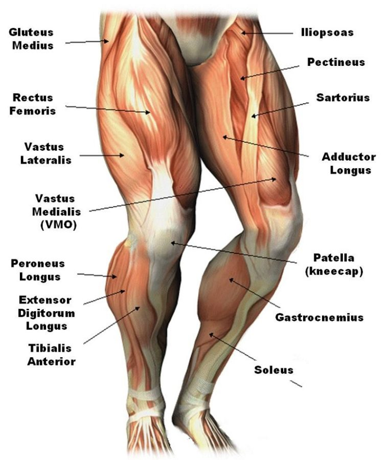 muscles diagram image