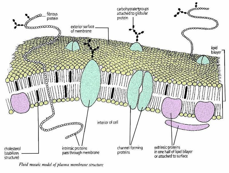 plasma membrane diagram fluid
