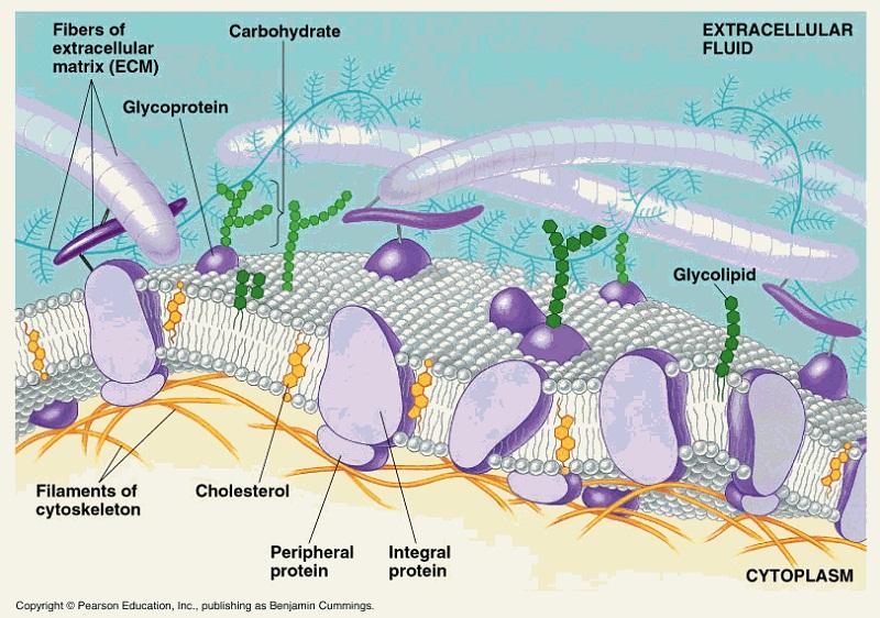plasma membrane diagram protein