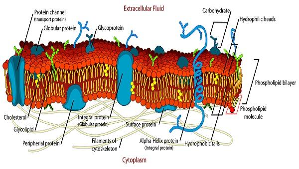 plasma membrane diagram structure