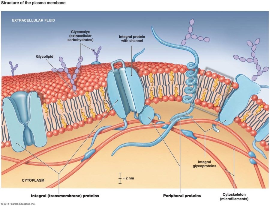plasma membrane diagram transport