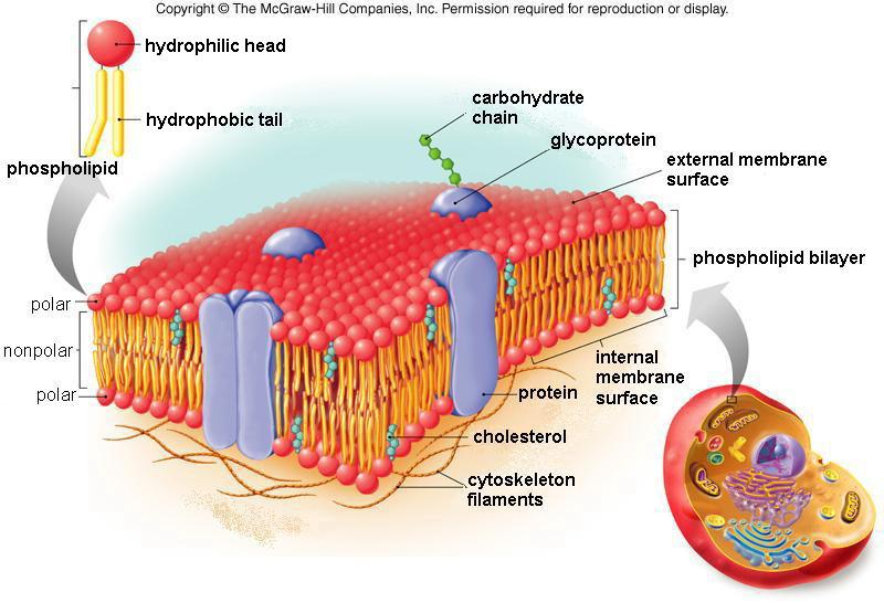 plasma membrane diagram type