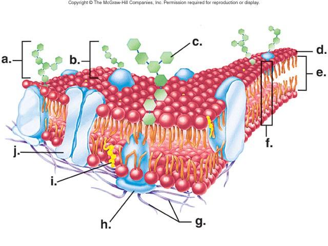 plasma membrane diagram unlabeled