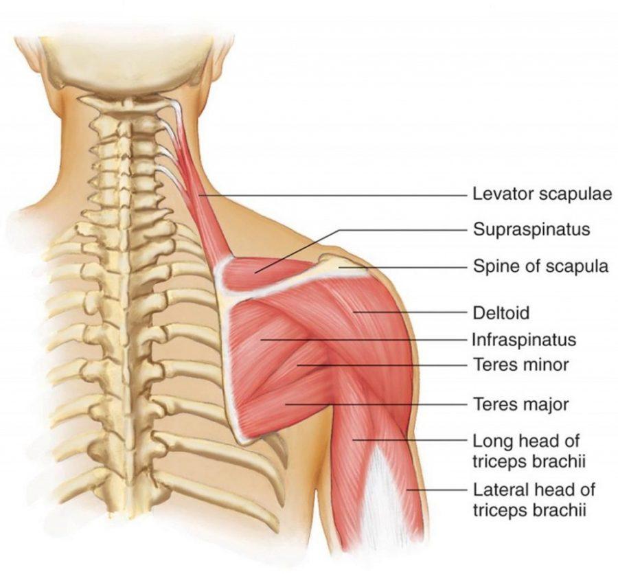 shoulder muscles diagram anatomy