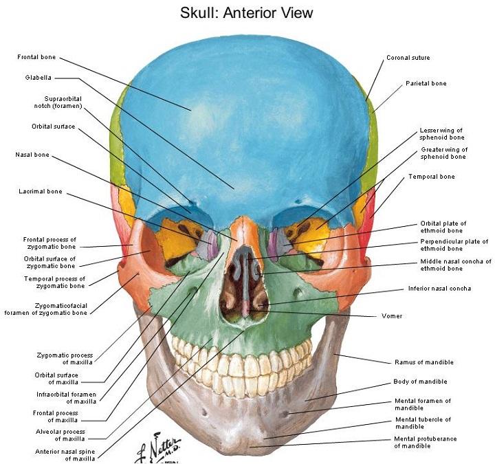 skull diagram anterior