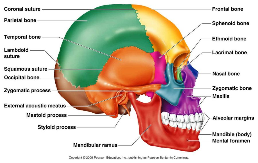 skull diagram bones