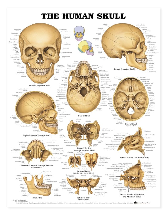 skull diagram detailed