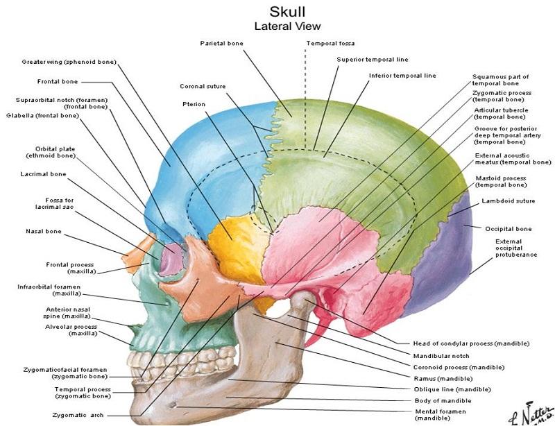 skull diagram human