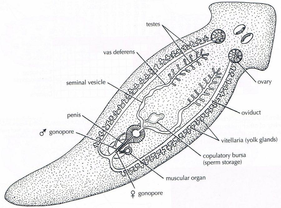worm diagram anatomy