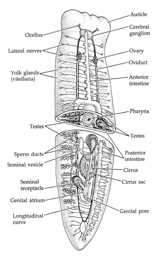 worm diagram labeled