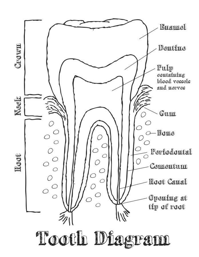 dental diagram labeled