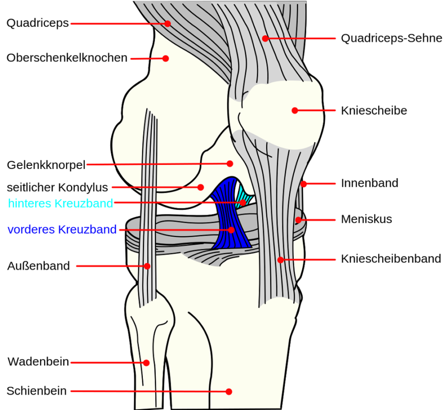 diagram of knee labeled