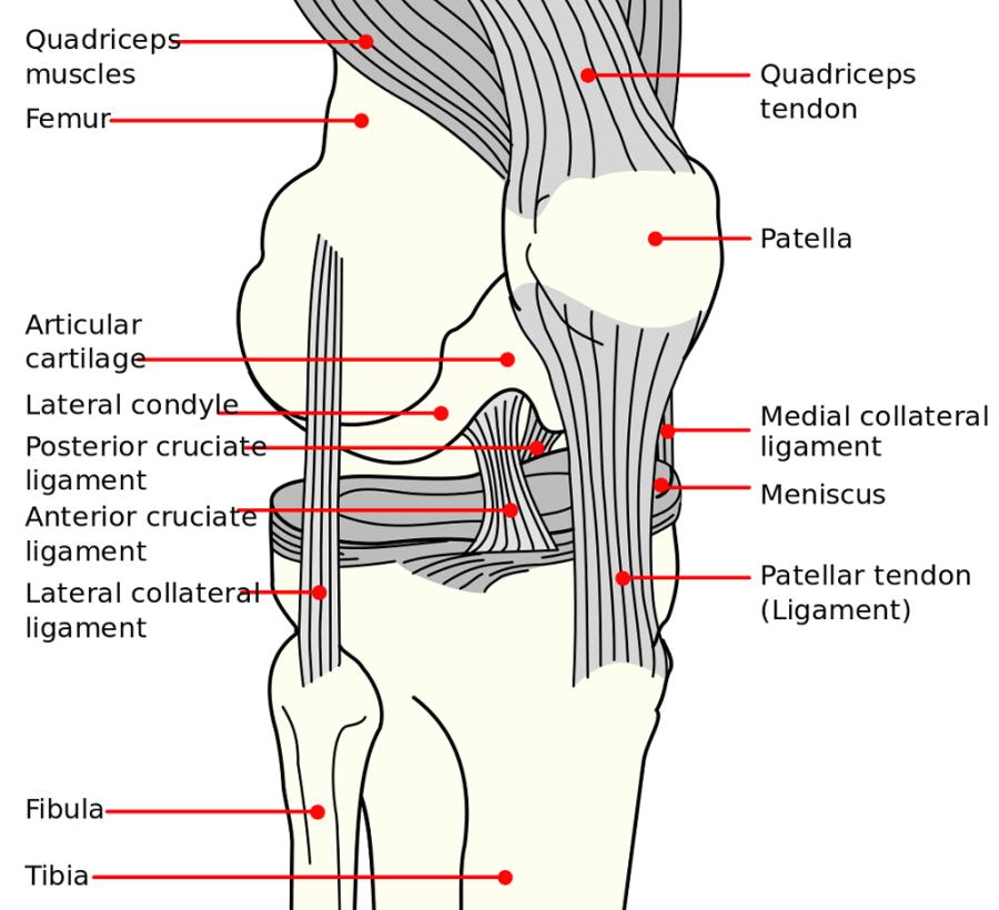 diagram of knee printable
