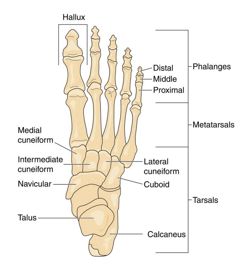 diagram of the foot bone