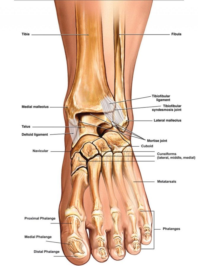 diagram of the foot labeled