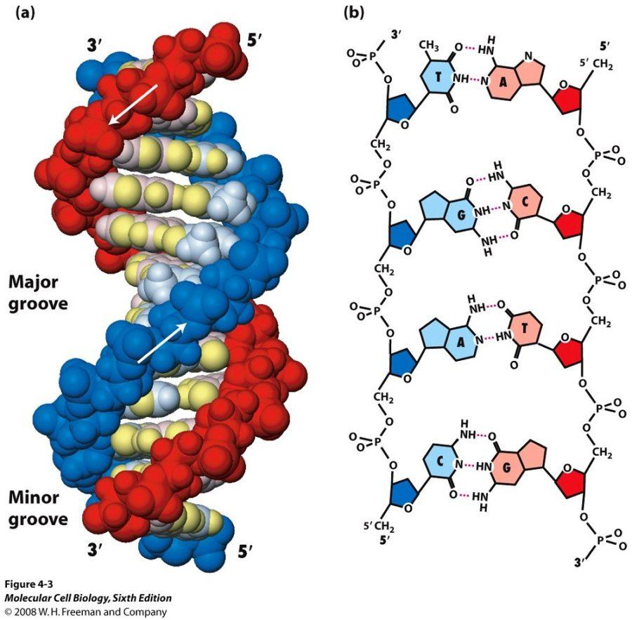 dna diagram molecular