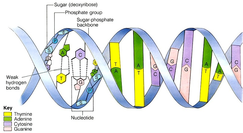 dna diagram structure