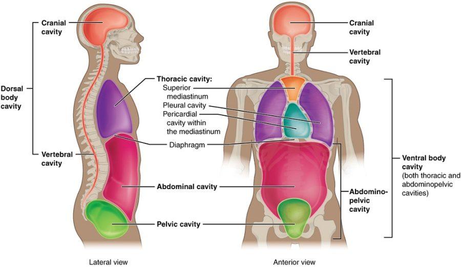 free body diagram human
