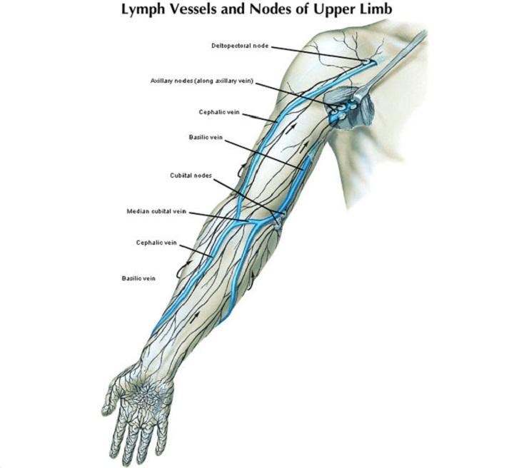 lymph nodes diagram arm