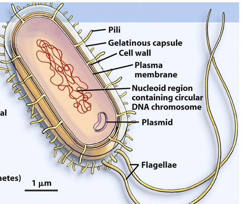 prokaryotic cell diagram bacteria