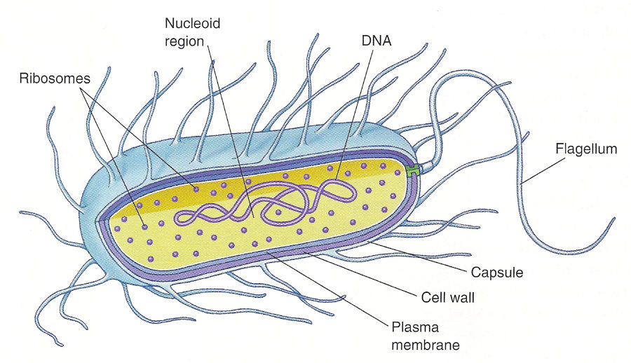 prokaryotic cell diagram capsuleprokaryotic cell diagram capsule