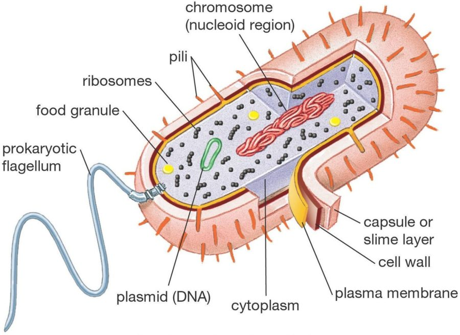 prokaryotic cell diagram detailed