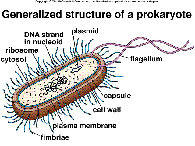 prokaryotic cell diagram system