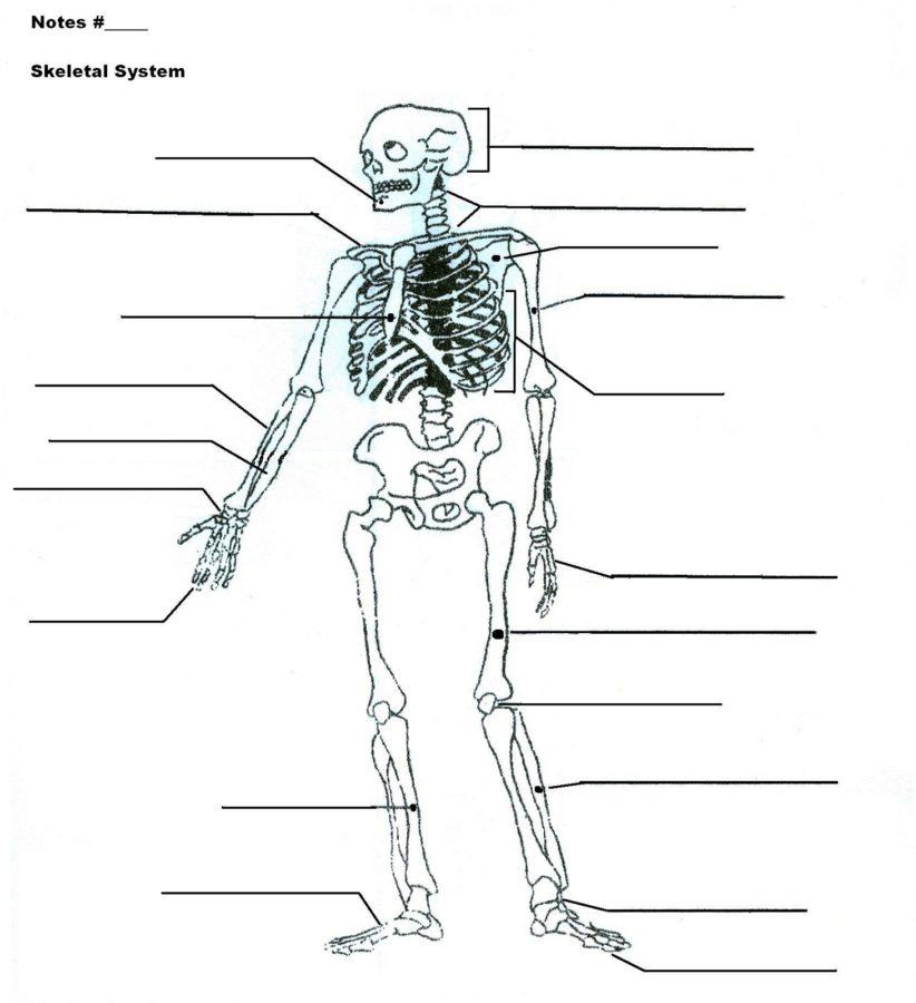 skeletal system diagram blank