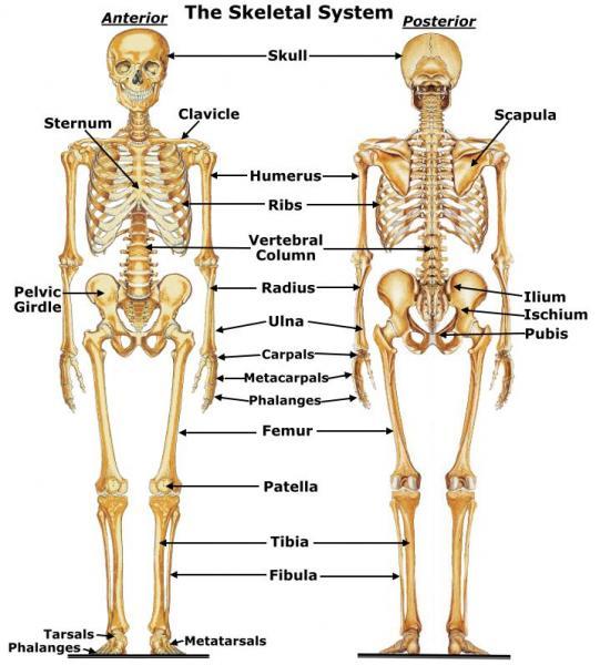 skeletal system diagram body