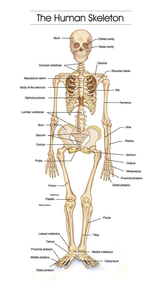skeletal system diagram bones